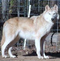 How to build Wolf dog Fence ?