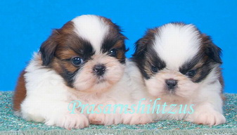 Shih Tzu Breed Standard