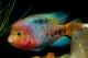 มาลองรู้จักปลากลุ่ม Vieja กันครับ