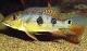 รายชื่อปลาหมอสีอเมริกาใต้ เรียงตามตัวอักษร
