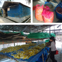 7 Jan 2013 Pick up cocoon from our farmer at Maejo, Sansai.