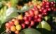มาตรฐานสินค้าเกษตร เมล็ดกาแฟอะราบิกา