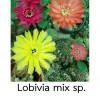 เมล็ดโลบิเวีย mixผสมหลายชนิด เมล็ดกระบองเพชร กระบองเพชร