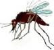 ยุง Mosquito