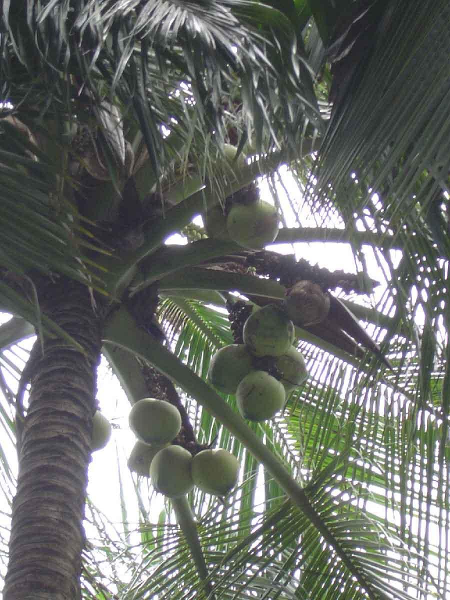 cocos nucifera cv  spicata   1 sprouts seed    1139818