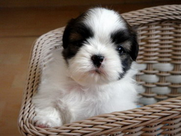 Five simple tips to do when you introduce your Shih Tzu puppy to the other pets