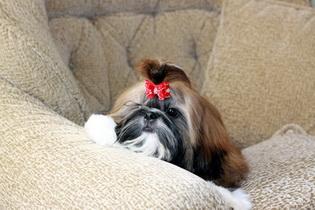 สิ่งที่คุณควรทำเมื่อมีสุนัขชิสุเป็นสมาชิกในครอบครัว