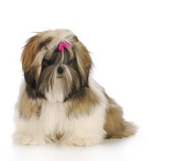 เหตุฉุกเฉินที่พบได้บ่อยในสุนัขชิสุ