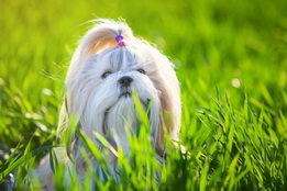 สัญญาณของความชราในสุนัขชิสุ