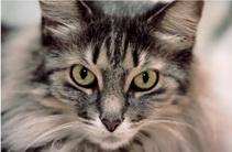 เชื้อราในแมว