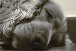 โรคพยาธิเม็ดเลือดในสุนัข อาการ วิธีป้องกันและรักษา